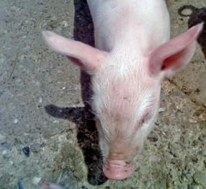 ID: image of a pig. women as livestock bill
