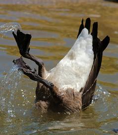 DuckCrop